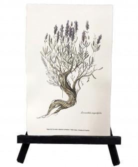Herbier Lavandula angustifolia