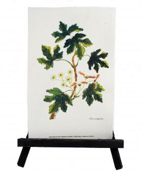 Acer campestre herbarium