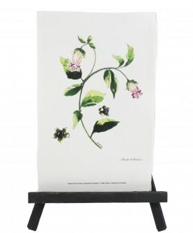 Herbier Atropa belladona