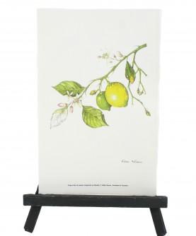 Citrus x limon herbarium