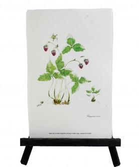 Fragaria vesca herbarium