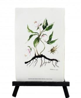Herbier Helleborus niger