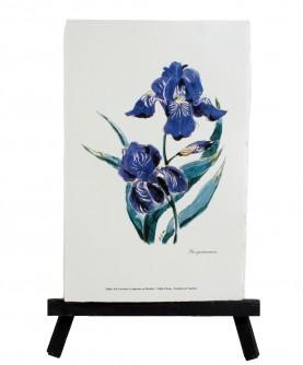 Iris germanica herbarium