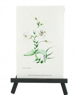 Herbier Lilium