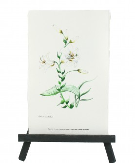 Lilium herbarium