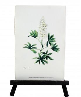 Lupinus albus herbarium