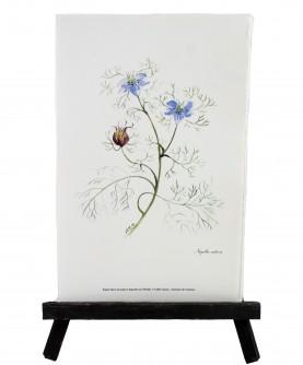 Nigella sativa herbarium