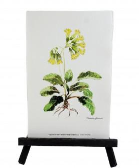 Herbier Primula officinalis