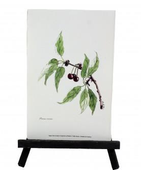 Prunus cerasus herbarium