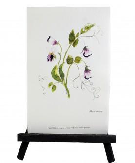 Herbier Pisum sativum