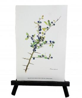 Prunus spinosa herbarium