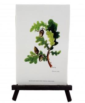 Quercus robur herbarium