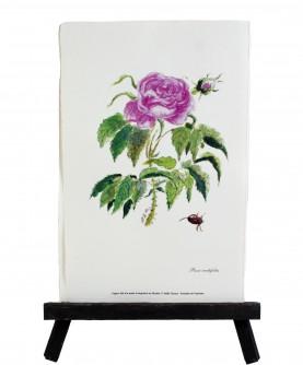 Herbier Rosa centifolia