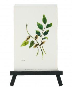 Salix sp. herbarium