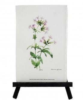 Saponaria officinalis herbarium