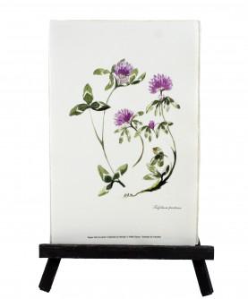 Herbier Trifolium pratense