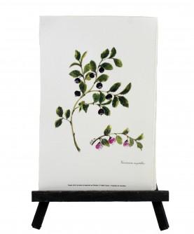 Vaccinium myrtillus herbarium