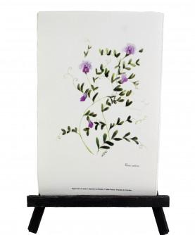 Herbier Vicia sativa